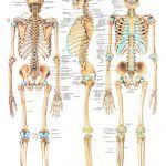 Human Anatomy Skeleton Diagram Human Anatomy Diagram Human Anatomy Skeleton Model Particularly