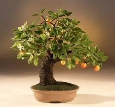 best 25 orange tree for sale ideas on diy clothes