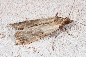 tiny brown bugs in my kitchen cabinets how to get rid of pantry moths the farmer s almanac
