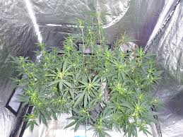 cheap grow lights for weed 340 best growing marijuana at home images on pinterest marijuana