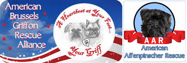 affenpinscher for adoption welcome to american brussels griffon rescue alliance