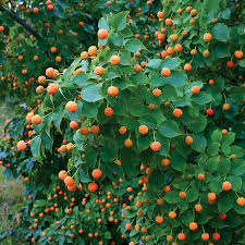 trees for garden landscape acers fast growing fruit and