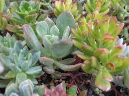 north texas heat wave drought resistant plants captain ron u0027s