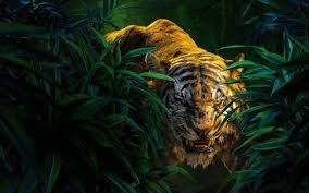 why is a considered the king of the jungle even though a tiger