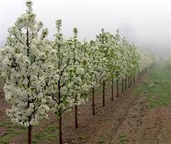 ornamental pear tree 10 12 h 7 8 w gardening