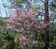 native plants to georgia redbud roadside2 jpg