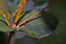 Plant Diseases Wikipedia - sooty mold wikipedia
