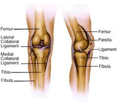 Back Knee Anatomy Warren Martin Lower Back Knee Shoulder