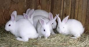 bunny rabbits rural king