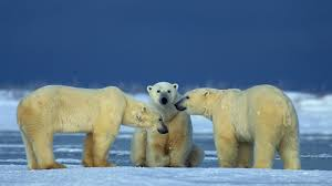 polar bear profile with pictures facts and map