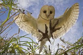 Where Does The Barn Owl Live Photographer John Walters Captures U0027prey U0027s Eye View U0027 Of Barn Owl