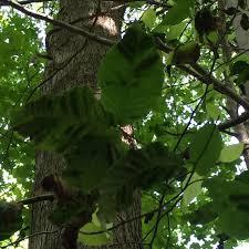 beech tree leaf disease u2013 no known cause treebuzz