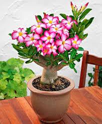 Buy House Plants Buy House Plants Now Desert Rose Bakker Com