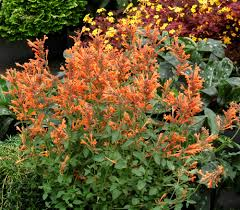 agastache seeds apricot sunrise hummingbird mint anise