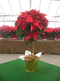 poinsettia tree great big greenhouse how to care for your poinsettia