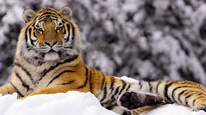 30 bengal tiger pictures collection