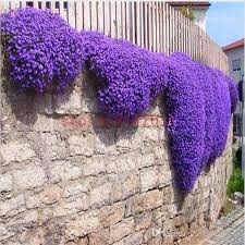 2017 home plants flower seeds creeping thyme seeds or blue rock