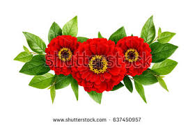 Zinnia Flowers Zinnia Flower Stock Images Royalty Free Images U0026 Vectors