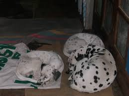 file 3 dalmatian dogs jpg wikimedia commons