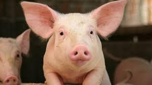 pig young closeup ngsversion 1412640764383 jpg