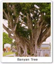 banyan tree scientific classification of banyan tree cultural