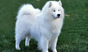 american eskimo dog japanese spitz difference jessicard on twitter
