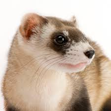 black footed ferret national geographic