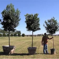 glen flora farms wholesale trees plants list japanese