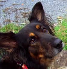 belgian shepherd quebec abby german shepherd x belgian shepherd ottawa dog training