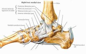 Lateral Collateral Ligament Ankle Balanced Is Painless Kata U0027s Way Have You Twisted Your Ankle