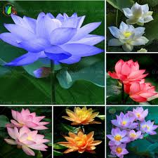 online buy wholesale lotus flower seeds from china lotus flower