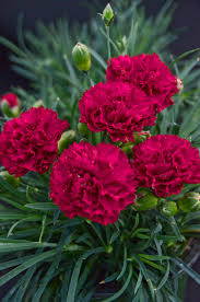 dianthus flower fruit punch cranberry cocktail pinks dianthus hybrid