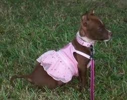 jack russell american pitbull terrier mix chipit chihuahua american pit bull terrier mix info and pictures