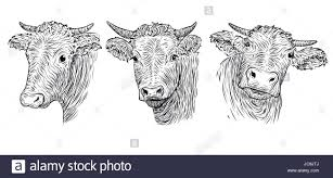 cow calf bull cute muzzle face in three different set collection