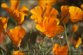 California Poppy California Poppy Eschscholzia Californica Desertusa