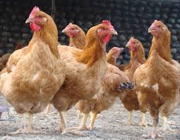 native chicken breeds in the philippines with barang chicken