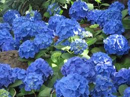 flower hydrangeas attractive blue green garden photography flowers