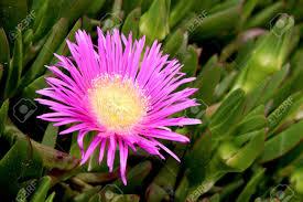 native plants of africa carpobrotus edulis a succulent plant creeping native to the