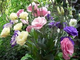 lisianthus flower amazing and most beautiful eustoma flowers lisianthus flowers