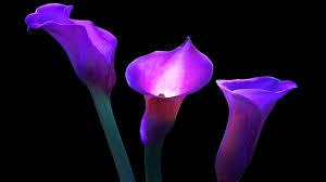 purple calla lilies calla lilies pictures wallpaper 1366x768 78144