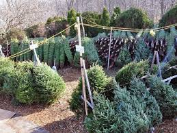 christmas tree recycling event saturday woodinville wa patch
