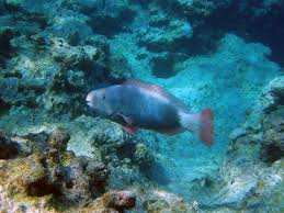 parrot fish makes beautiful beaches scientific american