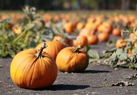 Local Pumpkin Farms In Nj by Greetings From A Pumpkin Patch Parking Space 17 B Observer
