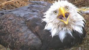 Iowa Wild Animals images Decorah eagles live cam nesting bald eagles jpg