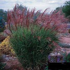 ornamental grasses ebay