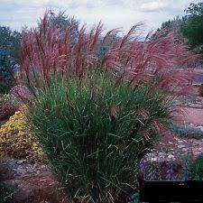 miscanthus ornamental grasses ebay