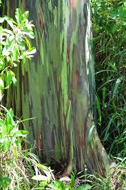 maui mondays rainbow eucalyptus trees