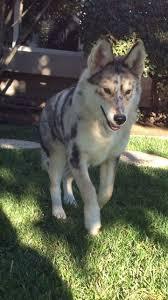 australian shepherd x rottweiler 20 strangely cute hybrid husky breeds you never knew existed