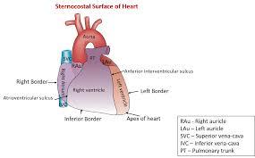 Heart External Anatomy Anatomy Of Fetal Heart Gallery Learn Human Anatomy Image