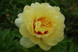 yellow peonies what are the best peony colors for my garden